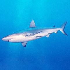 Precio Tiburon